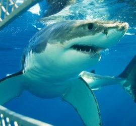 Sharks-web